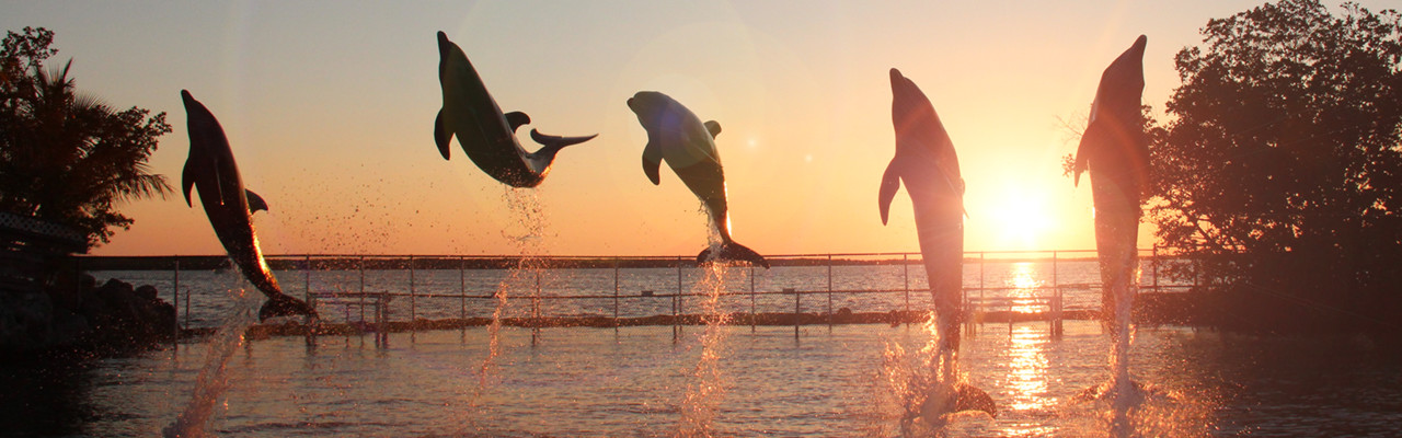 Group of dolphins jumping out of the water at sunset