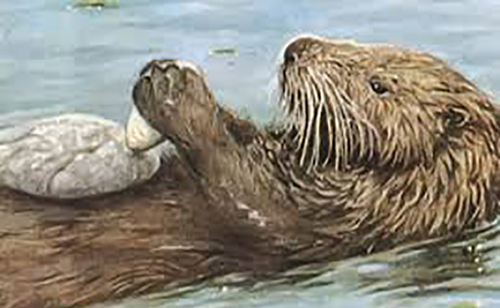 How do sea otters use tools to get food