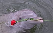 Dolphin with Rose - Valentine's Day - Key Largo - Dolphins in Key Largo
